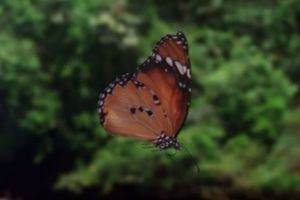 Yes, Butterflies Zigzag Wildly for a Reason